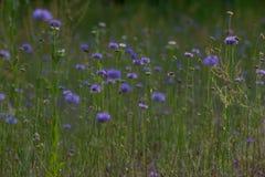 Beeld van een weide met blauwe bloemen in voorgrond Royalty-vrije Stock Foto