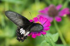 Beeld van Gemeenschappelijke Rose Butterfly op aardachtergrond insect stock foto's