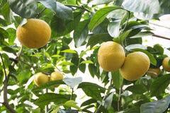 Beeld van grapefruitboom in de botanische tuin stock fotografie
