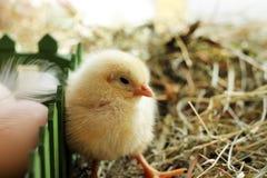 Beeld van grappige babykip op het hooi, close-up stock afbeeldingen