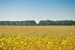 Beeld van het gebied van de boon in oogsttijd De installaties met riped peulen op de vage achtergrond van het de zomerplatteland stock afbeelding