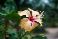 Beeld van het mooie hibiscus groeien thailand Royalty-vrije Stock Foto