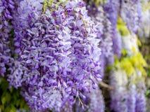 Beeld van het mooie purpere wisteria groeien langs een steenmuur stock afbeeldingen