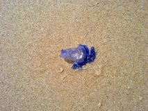Beeld van Kwallen in Strandzand stock afbeeldingen