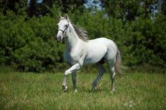 Beeld van majestueus wit paard Royalty-vrije Stock Fotografie