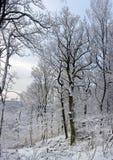 Beeld van mooie bomen in de winterbos royalty-vrije stock fotografie