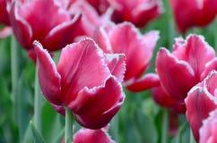 Beeld van mooie tulpen op ondiep diep van gebieds dichte omhooggaand royalty-vrije stock fotografie