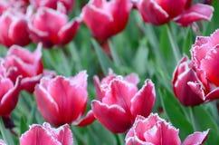 Beeld van mooie tulpen op ondiep diep van gebieds dichte omhooggaand stock afbeeldingen