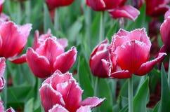 Beeld van mooie tulpen op ondiep diep van gebieds dichte omhooggaand stock foto