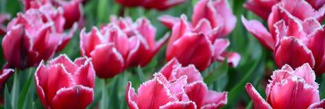 Beeld van mooie tulpen op ondiep diep van gebieds dichte omhooggaand royalty-vrije stock foto's