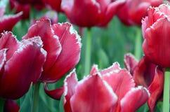 Beeld van mooie tulpen op ondiep diep van gebieds dichte omhooggaand stock afbeelding