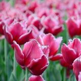 Beeld van mooie tulpen op ondiep diep van gebieds dichte omhooggaand stock foto's