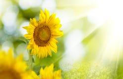 Beeld van mooie zonnebloemenclose-up royalty-vrije stock afbeelding