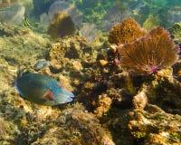 Beeld van Papegaaivissen op de ertsader in Roatan Honduras stock afbeeldingen