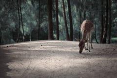 Beeld van rode herten in de Herfst boslandschap stock afbeelding