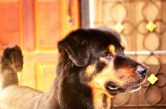 Beeld van Rottweiler stock fotografie