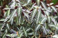 Beeld van Ruellia-portellae in botanische tuin royalty-vrije stock afbeeldingen
