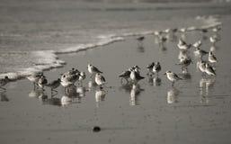 Beeld van shorebirds tijdens eb Royalty-vrije Stock Fotografie