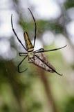 Beeld van Spin Nephila Maculata, de lang-Jawed orb-Wever van Gaint Stock Fotografie