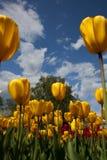 Beeld van tulpen tegen blauwe hemel Stock Afbeeldingen