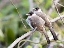Beeld van twee die vogels op de tak in de wildernis worden neergestreken stock afbeeldingen