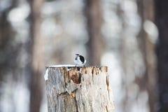 Beeld van uiterst kleine vogel Marsh Tit of Poecile-palustris die op de stomp en het pikken zaden in het de winterbos zitten stock afbeelding