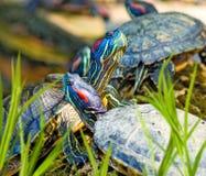Beeld van vele schildpaddenclose-up Stock Foto's