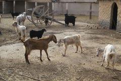 Beeld van Volbloed- geiten in het boerenerf stock fotografie