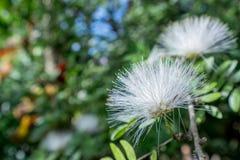 Beeld van witte Mimosa Pudica thailand Stock Fotografie