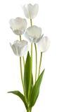 Beeld van witte tulpen op een witte achtergrond Stock Foto's
