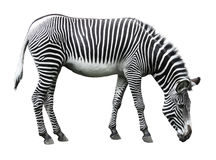 Beeld van zebra dat op wit wordt geïsoleerd Stock Afbeeldingen