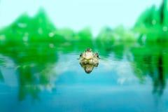 Beeld van zoetwater exotische schildpadden Matamata royalty-vrije stock fotografie