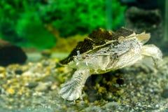 Beeld van zoetwater exotische schildpadden Matamata stock foto