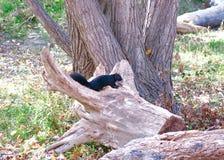 Beeld van Zwarte Eekhoorn onder de Bomen Landelijke cloudscape royalty-vrije stock afbeeldingen
