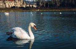 Beeld - Zwanen op de rivier met bezinning in water en hotel op achtergrond in de stad Å¥any van PieÅ ¡ Het verlichte Zwaan st stock foto's