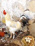 Beelden van binnenlandse hanen, beelden van haan en kippen, beelden van natuurlijke organische dorpskippen, natuurlijk-gevoed kip Royalty-vrije Stock Afbeeldingen