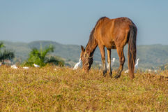 Beelden van Cuba - Cubaanse Landbouwbedrijfdieren Stock Afbeeldingen