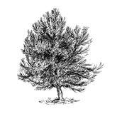 Beeldverhaal Vectortekening van de Boom van de Pijnboomnaaldboom Royalty-vrije Stock Foto
