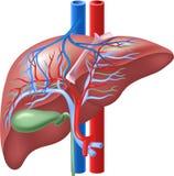 Beeldverhaalillustratie van Menselijke Interne Lever en Gallbladder Stock Foto's