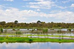 Beeliermoerasland met Purpere Swamphen: Westelijk Australië stock foto's