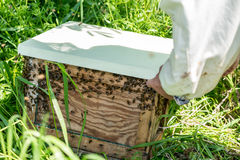 The beemaster checking the old wooden beehive. Close view on the beemaster checking the old wooden beehive Stock Image