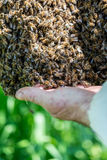 The beemaster checking the swarm of bees Stock Image