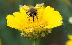 Bee macro Stock Photography