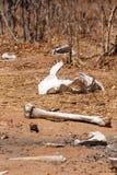 Beenderen - Chobe N P Botswana, Afrika stock foto's