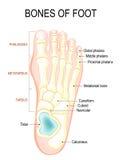 Beenderen van voet royalty-vrije illustratie