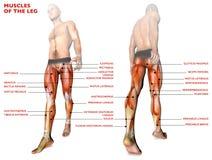 Beenspieren, menselijk lichaam, anatomie, spiersysteem, anatomiepersoon stock illustratie