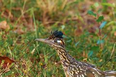 Beep Beep. A Greater Roadrunner hanging out in the weeds in Alma, Arkansas 2017 Royalty Free Stock Image