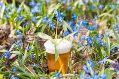 Beer and blue flowers spring, snowdrop Scilla Royalty Free Stock Photos