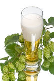 Beer and branch of hop Royalty Free Stock Image