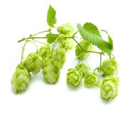Beer brewing ingredients Hop cones isolated on white background. Beer brewery concept. Beer background Royalty Free Stock Image
